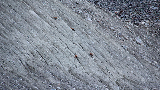 Not much grass to eat for the chamois   Maybe the salt or other minerals hidden in the ground