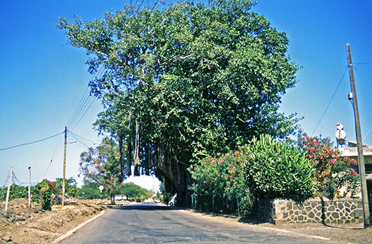 Banian tree near the Tamarin Salt Fields   When I went back there in 2013 the tree was missing   1992